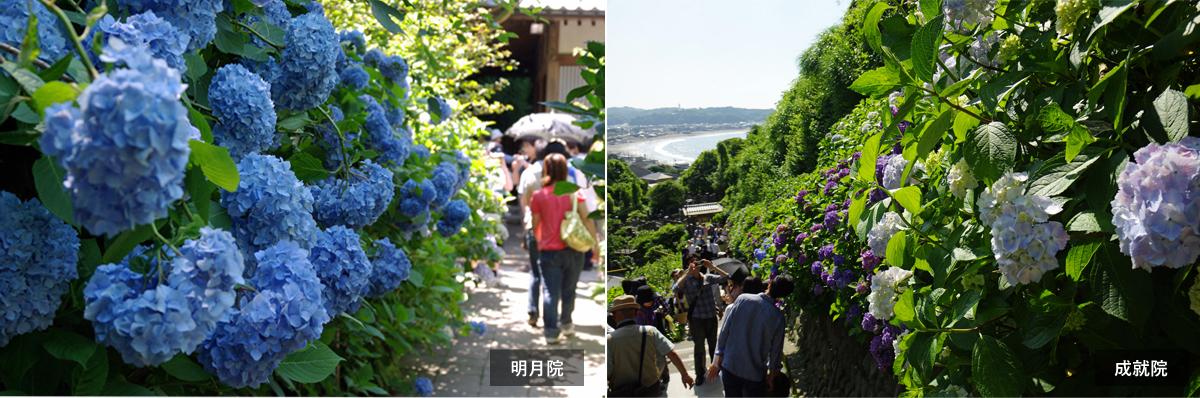 鎌倉・明月院、成就院|古都・鎌倉で紫陽花めぐり