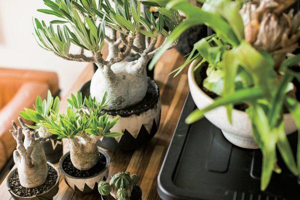 塊根植物、アガベ、ユーフォルピアなど男らしい植物が大人気!人気品種や鉢、植え替え方法、ショップを紹介。