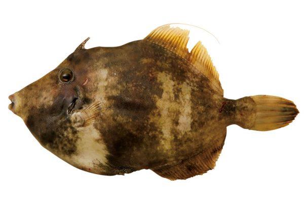 皮剥〈カワハギ〉|料理を愛する人のための魚図鑑