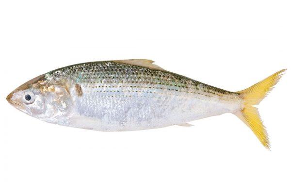 小肌〈コハダ〉|料理を愛する人のための魚図鑑