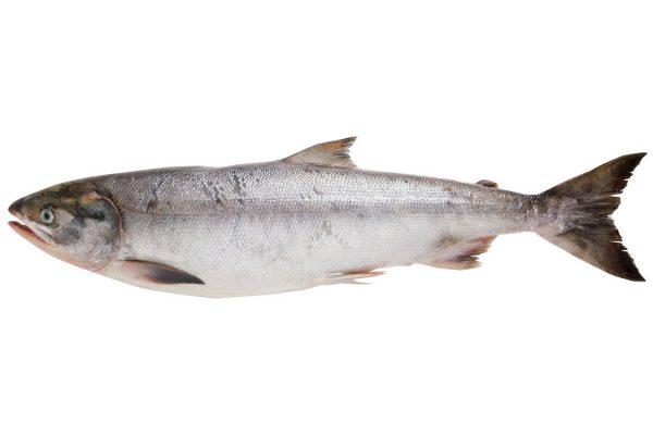 鮭〈サケ〉|料理を愛する人のための魚図鑑