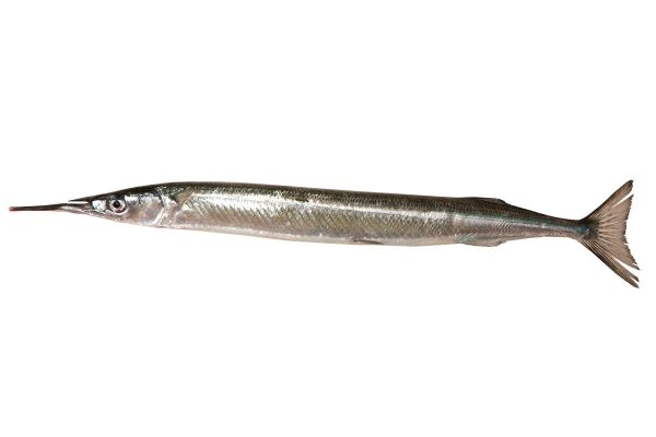 針魚〈サヨリ〉|料理を愛する人のための魚図鑑