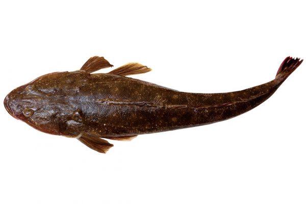 真鯒〈マゴチ〉|料理を愛する人のための魚図鑑
