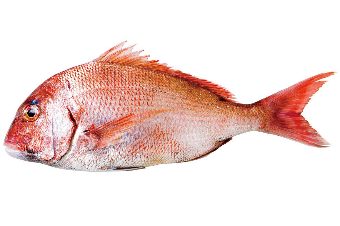 真鯛〈マダイ〉 料理を愛する人のための魚図鑑   buono