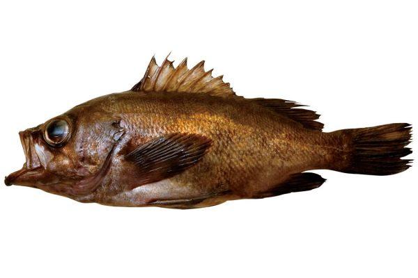 目張〈メバル〉|料理を愛する人のための魚図鑑