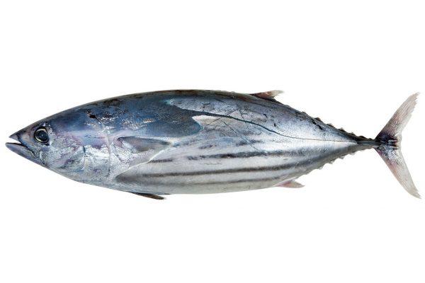 鰹〈カツオ〉|料理を愛する人のための魚図鑑