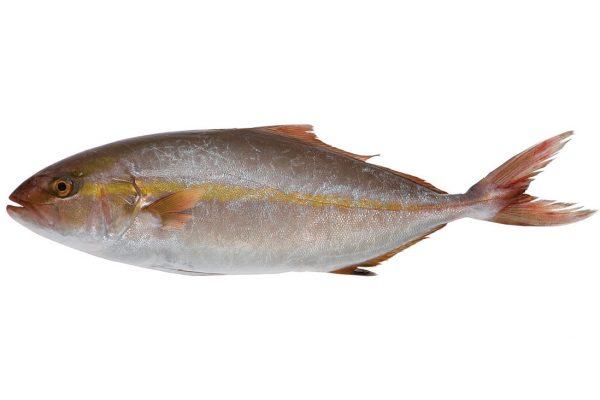 勘八〈カンパチ〉|料理を愛する人のための魚図鑑