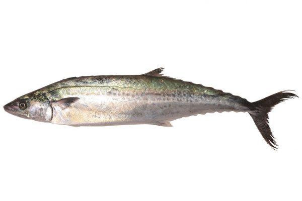 鰆〈サワラ〉|料理を愛する人のための魚図鑑