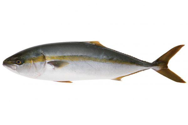鰤〈ブリ〉|料理を愛する人のための魚図鑑