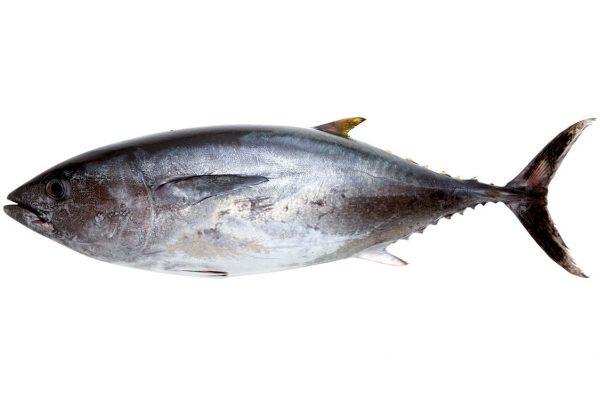 鮪〈マグロ〉|料理を愛する人のための魚図鑑