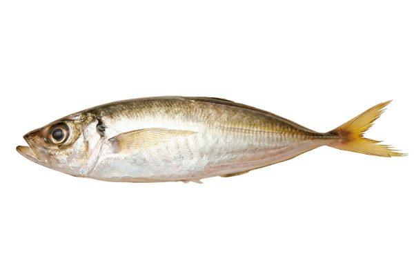 鯵〈アジ〉|料理を愛する人のための魚図鑑
