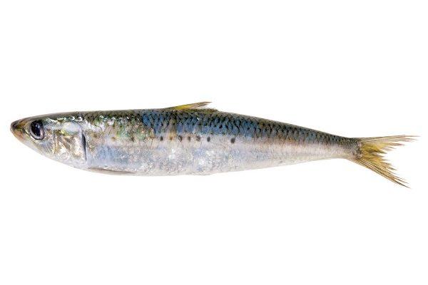 鰯〈イワシ〉|料理を愛する人のための魚図鑑