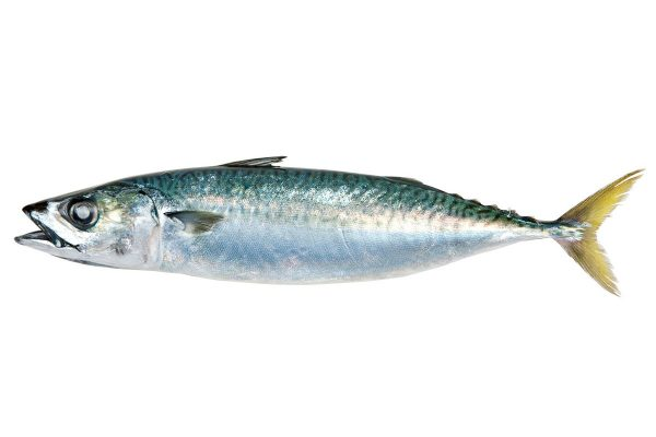 鯖〈サバ〉|料理を愛する人のための魚図鑑