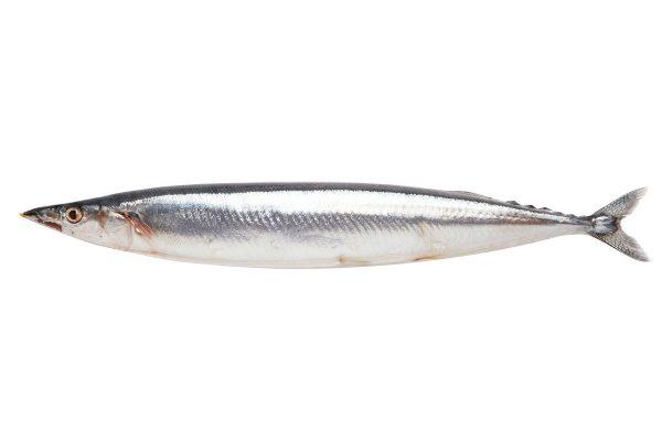 秋刀魚〈サンマ〉|料理を愛する人のための魚図鑑