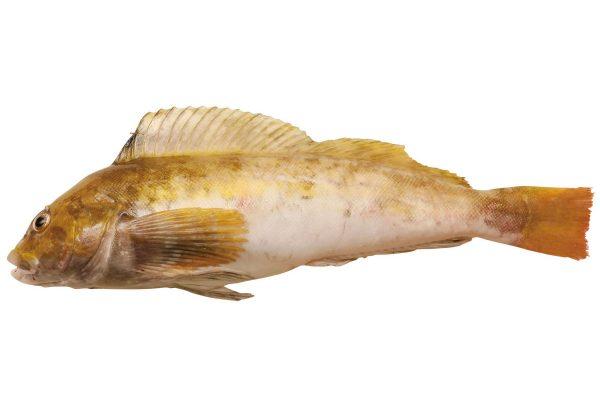 鮎並〈アイナメ〉|料理を愛する人のための魚図鑑
