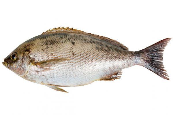 伊佐木〈イサキ〉|料理を愛する人のための魚図鑑