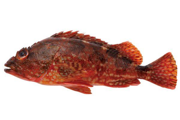 笠子〈カサゴ〉|料理を愛する人のための魚図鑑