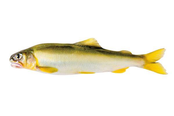鮎〈アユ〉|料理を愛する人のための魚図鑑