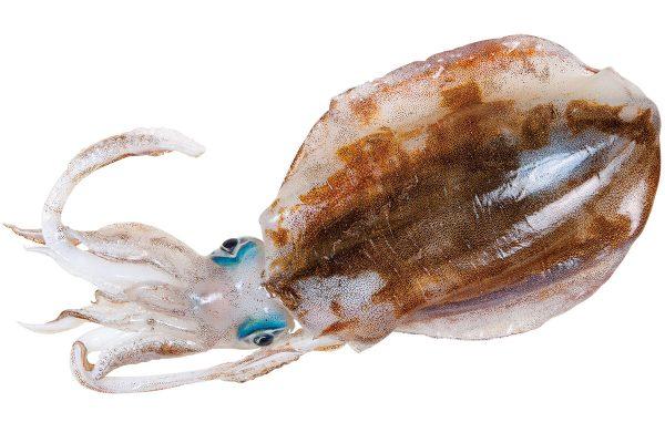 障泥烏賊〈アオリイカ〉|料理を愛する人のための魚図鑑