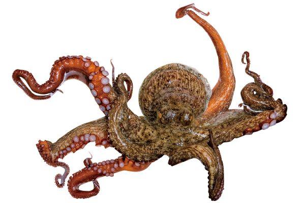 蛸〈タコ〉|料理を愛する人のための魚図鑑