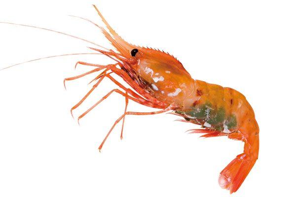 牡丹海老〈ボタンエビ〉|料理を愛する人のための魚図鑑