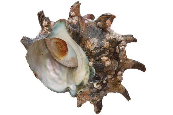 栄螺〈サザエ〉|料理を愛する人のための魚図鑑