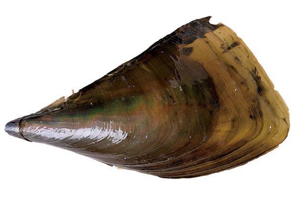 玉珧〈タイラギ〉|料理を愛する人のための魚図鑑