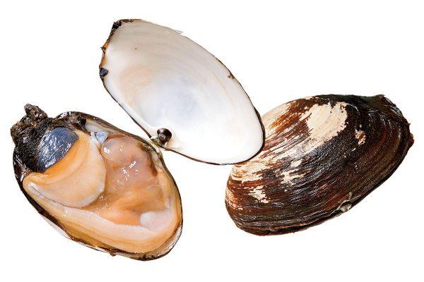 海松貝〈ミルガイ〉|料理を愛する人のための魚図鑑